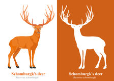 Los ciervos de Schomburgk Imágenes de archivo libres de regalías