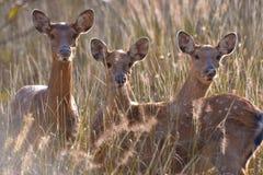 Los ciervos del sika Fotos de archivo