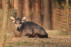 Los ciervos empenachados de Michie Fotos de archivo libres de regalías