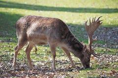 Los ciervos en barbecho Foto de archivo