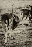 Los ciervos en barbecho - dama del Dama - cubren cuidado Foto de archivo libre de regalías