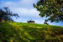 Los ciervos en el parque de Phoenix, Dublín, Irlanda foto de archivo libre de regalías