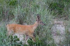 Los ciervos en las dunas en Robert Moses varan Nueva York 2 Imágenes de archivo libres de regalías