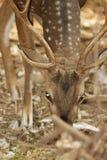 ¡Los ciervos manchados! fotografía de archivo