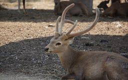 Los ciervos marrones fotografía de archivo libre de regalías