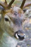 Los ciervos masculinos se cierran para arriba Foto de archivo libre de regalías
