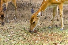 Los ciervos modelaron ciervos preciosos del punto en el salvaje Fotografía de archivo libre de regalías