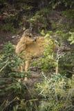 Los ciervos mula adulan la situación en el bosque, parque nacional de Yellowstone, Wy Foto de archivo