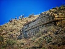 Los ciervos mula agrupan en una pradera Ridge Near Pueblo Colorado fotografía de archivo