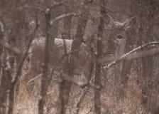 Los ciervos mula en la nieve ocultada por invierno descubren árboles fotos de archivo