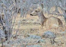 Gama de los ciervos mula Imágenes de archivo libres de regalías