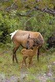 Los ciervos mula y su cervatillo encontraron cerca de Mammoth Hot Springs en el parque nacional de Yellowstone Fotografía de archivo