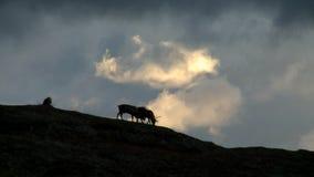 Los ciervos pastan en la puesta del sol