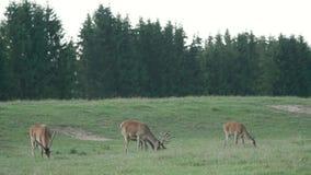 Los ciervos que pastan en prado verde cierran el bosque, fauna libre, subiendo encima de las cabezas y pareciendo asustada metrajes