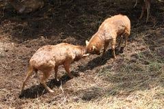 Los ciervos salvajes luchaban para arrebatar área. Fotos de archivo