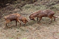 Los ciervos salvajes luchaban para arrebatar área. Foto de archivo libre de regalías