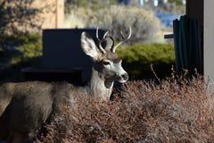 Los ciervos se cierran para arriba Foto de archivo