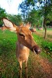 Los ciervos viven en parque zoológico, dirigen, miran Imagen de archivo libre de regalías