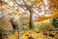Los ciervos viven libremente en Nara Imagenes de archivo