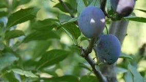 Los ciruelos azules de las frutas maduras cuelgan en rama de árbol metrajes