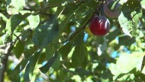Los ciruelos maduros están entre las hojas metrajes