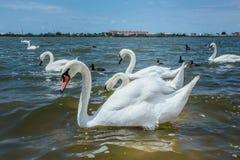 Los cisnes blancos agraciados están nadando a través del lago grande Imagenes de archivo