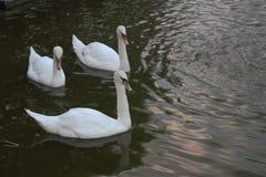 Los cisnes blancos del árbol en el simple Foto de archivo