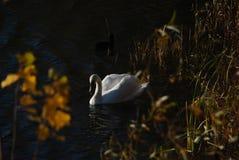 Los cisnes blancos en puesta del sol irradian el lago del parque Fotos de archivo