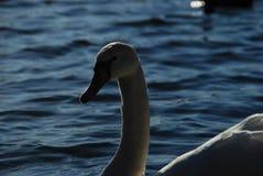 Los cisnes blancos en puesta del sol irradian el lago del parque Imagen de archivo