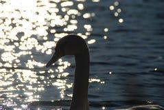 Los cisnes blancos en puesta del sol irradian el lago del parque Foto de archivo libre de regalías