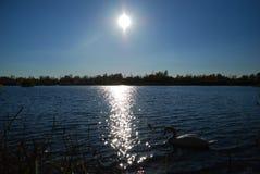 Los cisnes blancos en puesta del sol irradian el lago del parque Foto de archivo