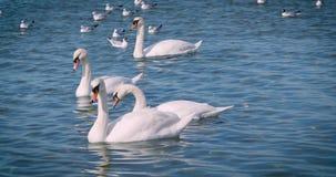 Los cisnes blancos hermosos nadan en el mar almacen de metraje de vídeo