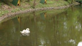 Los cisnes blancos limpian sus plumas en el lago después de la invernada, fondo metrajes