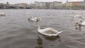 Los cisnes blancos lindos están flotando en el río de Moldava en Praga en el día nublado, paisaje urbano famoso almacen de video