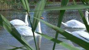Los cisnes blancos nadan en un paquete y solamente metrajes
