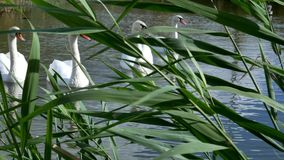 Los cisnes blancos nadan en un paquete y solamente almacen de video