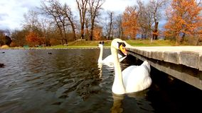 Los cisnes blancos nadan en una charca en el parque de Stromovka en Praga almacen de metraje de vídeo
