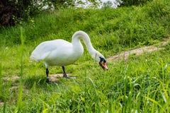 Los cisnes blancos son de consumición y relajantes en la hierba verde del río Foto de archivo