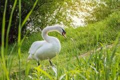Los cisnes blancos son de consumición y relajantes en la hierba verde del riv Foto de archivo libre de regalías