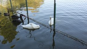Los cisnes blancos y negros acercan a la cerca almacen de video