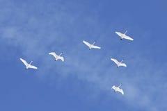 Los cisnes de tundra de la migración vuelan en la formación imagenes de archivo