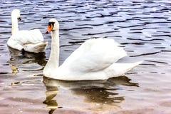 Los cisnes de Whooper nadan cerca de la orilla del depósito en Bielorrusia Foto de archivo