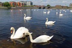 Los cisnes en Shannon rive Foto de archivo