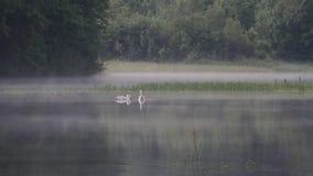 Los cisnes en un lago con wafts de la niebla almacen de video