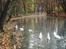 Los cisnes en una charca en una ciudad parquean almacen de metraje de vídeo