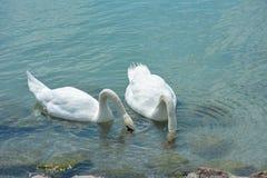 Los cisnes están comiendo en el lago Balatón fotografía de archivo