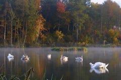 Los cisnes están descansando en la laguna Imagen de archivo libre de regalías