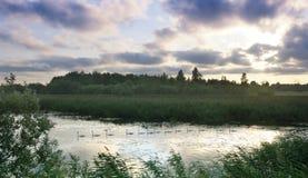 Los cisnes flotan uno tras otro rio abajo, una secuencia, una multitud de los cisnes que flotan en el río, puesta del sol en el r Imágenes de archivo libres de regalías