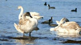 Los cisnes grises limpian almacen de metraje de vídeo