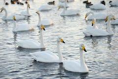 Los cisnes hermosos, blancos nadan en el lago en el salvaje Imagenes de archivo